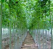 安徽芜湖法桐白蜡树苗12公分多少钱图片