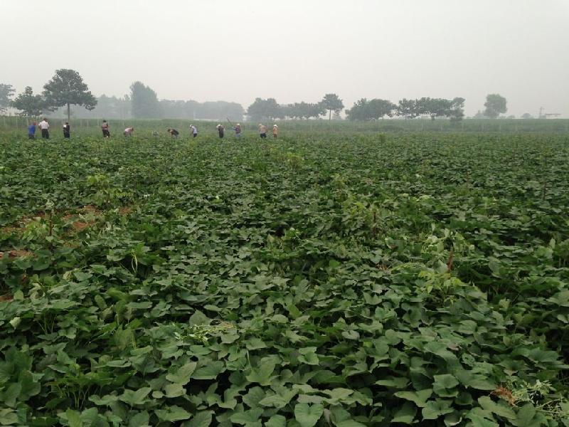 供应河南郑州红薯种植合作社 红薯一般什么时候上市 高清图片