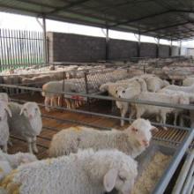养羊场图片
