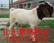 波尔山羊养殖图片
