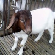 哪里有波尔山羊獭兔小尾寒羊图片