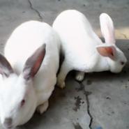 獭兔波尔山羊杜波羊图片