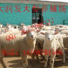 供应在新疆喀什哪里有卖小尾寒羊批发