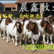 肉羊生产供应商图片