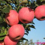 供应苹果苗