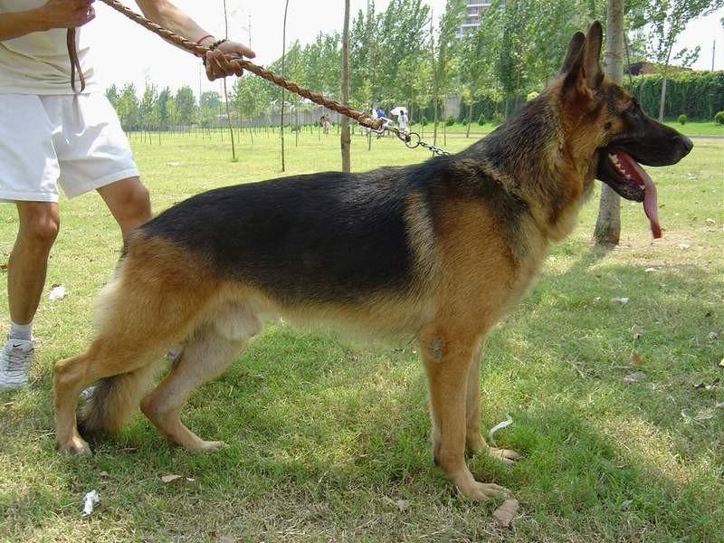 ...牧羊犬的牧羊犬价格,牧羊犬图片   牧羊犬图片   山东鸿盛犬...