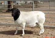 供应东北肉羊种羊小尾寒羊批发