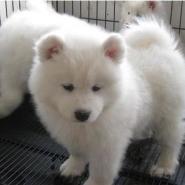 云南昆明纯种萨摩耶小狗图片