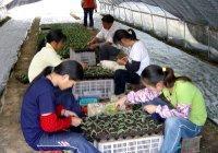 供应嫁接工专业嫁接瓜果蔬菜种苗