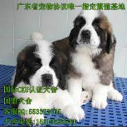 出售纯种圣伯纳幼犬图片