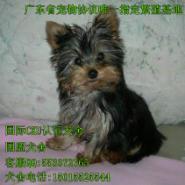 出售纯种约克夏幼犬图片