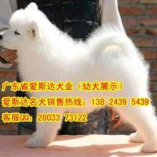 供应70广州萨摩耶犬价格微笑天使萨摩耶犬微笑天使萨摩耶出售纯种萨摩犬图片