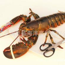 龙虾批发 供应鲜活加拿大龙虾 螯龙虾 婚宴专用 鲜活水产