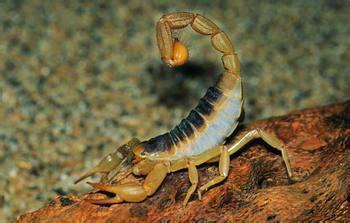 供应安徽蝎子养殖/安徽特种养殖