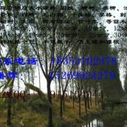 5公分垂柳小苗价格10-11公分旱柳图片
