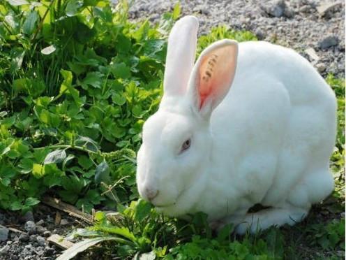 獭兔最新行情_山东獭兔供应厂家报价,图片,行情_山东獭兔供应厂家