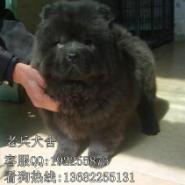 深圳哪里买松狮最好松狮犬多少钱图片