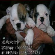 出售斗牛犬图片