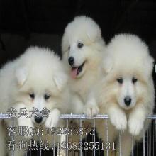 广州萨摩耶狗狗哪里有卖 宠物狗那种长的好看 首选可爱萨摩耶犬图片
