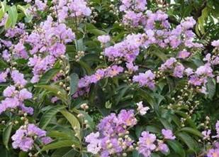 供应广东大叶紫薇供应商,大叶紫薇哪里最便宜及价格