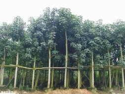 供应广东秋枫供应商,秋枫价格,秋枫哪里最好最便宜。