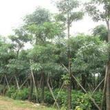广东盆架子树价格|广东15公分盆架子树苗圃|广东盆架子批发价