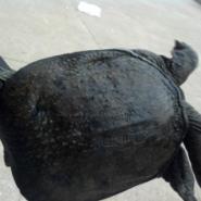 江苏仿野生甲鱼养殖场批发价格图片