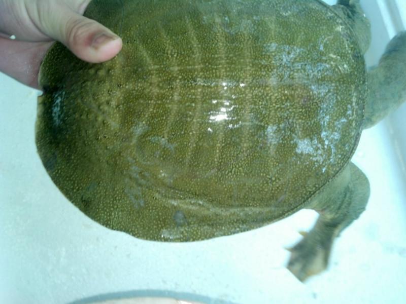 玉林甲鱼养殖场批发价格图片图片
