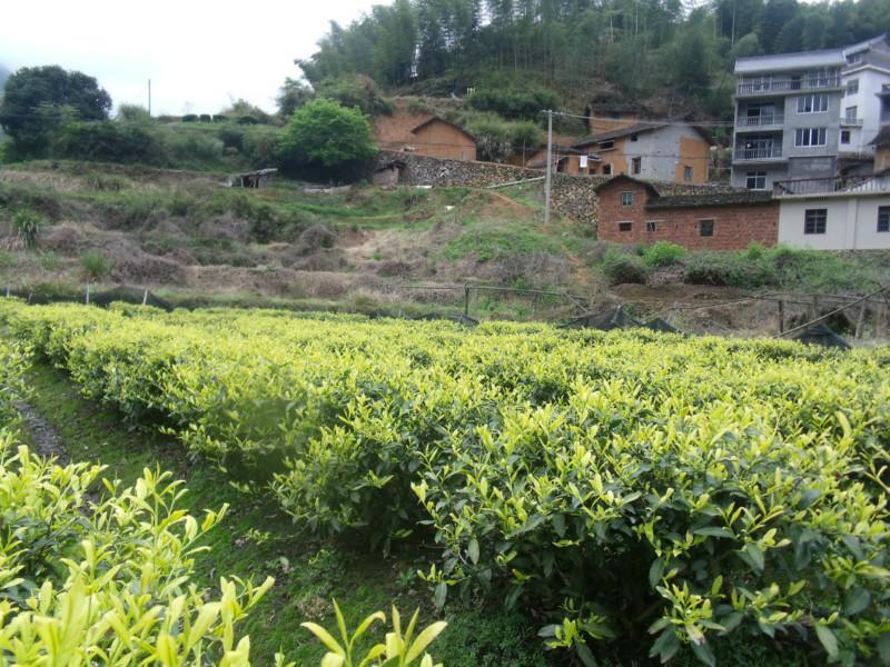松阳县板桥乡泮八村森林茶叶专业合作社
