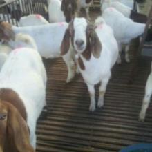 供应用于养殖的圈养肉羊的优势及繁殖技术图片