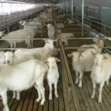供应用于养殖的山东顺牧供应种羊小尾寒羊批发