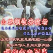 波尔山羊饲养需要碳水化合物图片