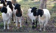 杜泊绵羊种羊杂交波尔山羊图片