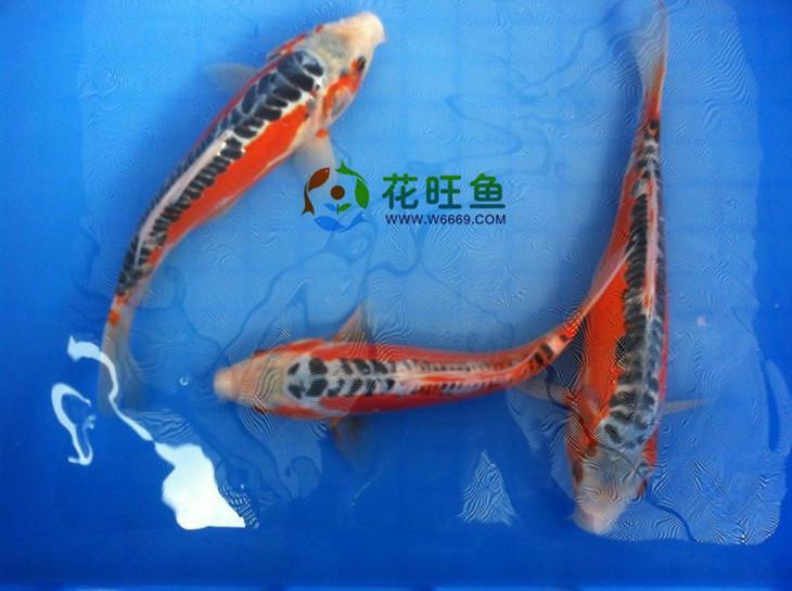 秋翠锦鲤鱼图片