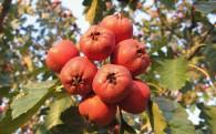 供应生鲜水果供应商,山楂供应商,山楂批发