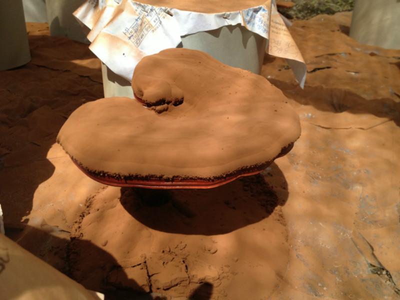 供应破壁灵芝孢子粉