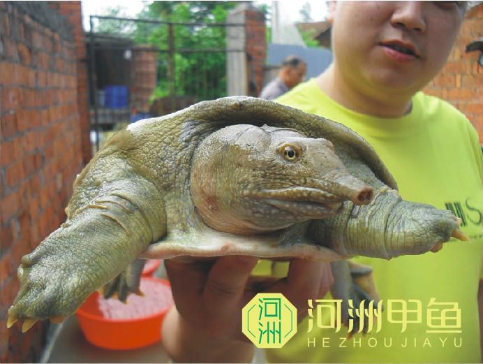 齐齐哈尔鲜活水产甲鱼图片图片