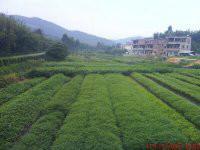 广州伟峰绿化苗木基地