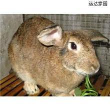比利时兔比利时野兔比利时杂交野兔批发