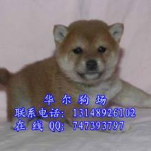 全广州最顶级的秋田犬养殖基地直销纯种秋田日本柴犬温文尔雅批发