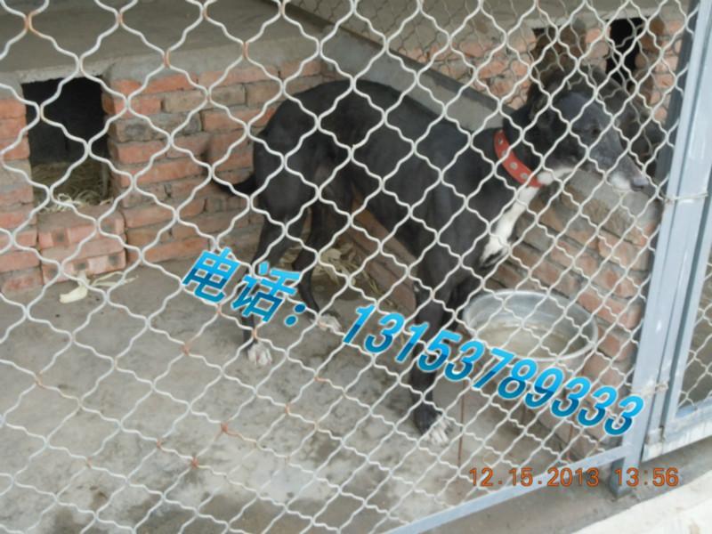 山东/[2014/1/9] 山东恒祥猎犬繁育基地13153789333常年出售血统犬...