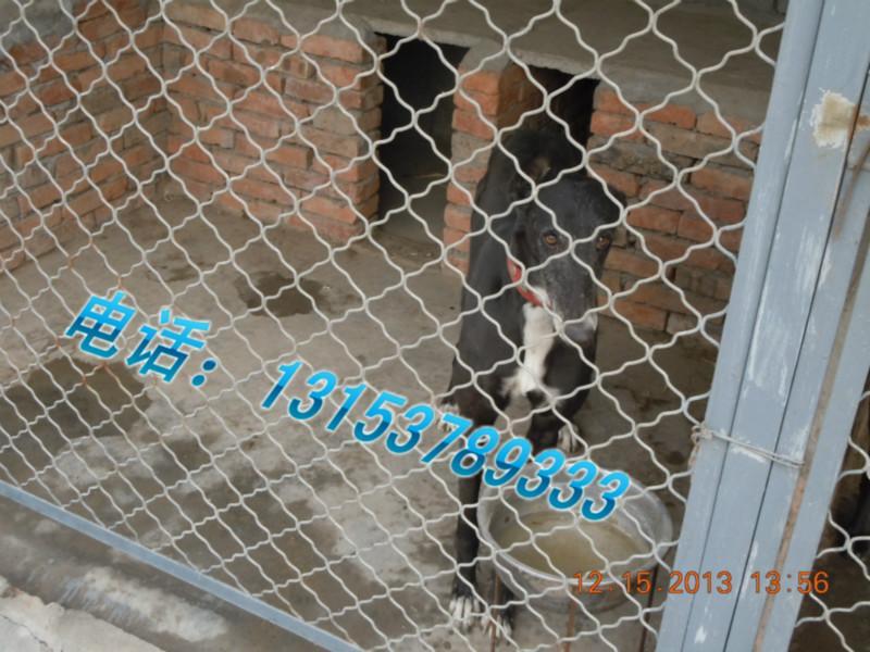 繁育基地 山东 格力犬/产品描述:山东恒祥猎犬繁育基地13153789333常年出售血统犬...