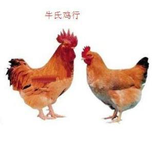驻马店哪里有肉鸡鸡苗的图片