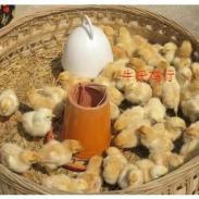 南阳市哪里有卖肉鸡鸡苗图片