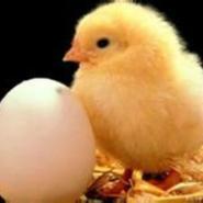 熊寨哪里有卖小鸡卖鸡苗的牛氏鸡行图片