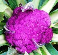 供应紫色菜花种子
