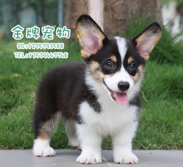 出售_出售藏獒幼犬图片