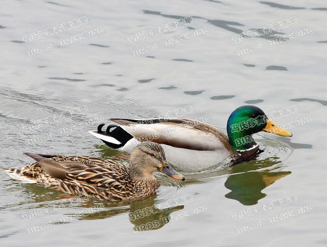 头野鸭养殖场_绿头野鸭图片|绿头野鸭样板图|绿头野鸭效果图_新会冯氏珍禽养殖场