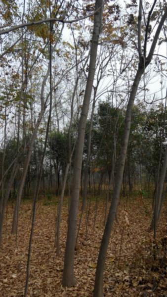 供应栾树价格最便宜最优惠的供应商种植基地