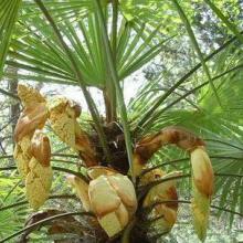 供应陕西棕榈哪里批发价格优惠,陕西棕榈批发